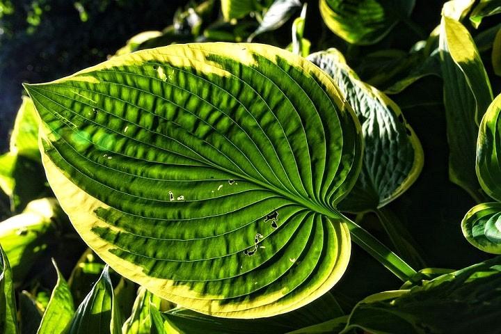 A hosta plant leaf