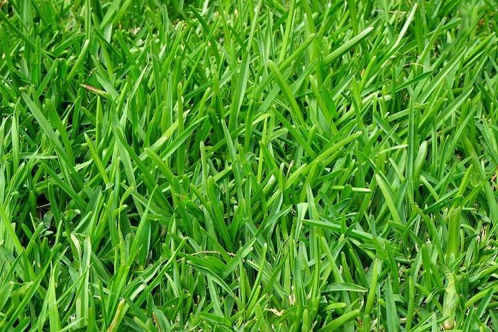 Closeup of grass in a lawn