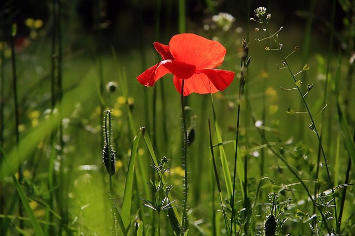 A poppy flower on a lawn